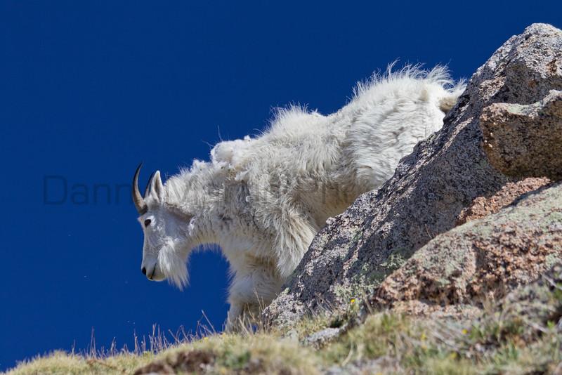 Mountain Goat<br /> Mount Evans, Colorado