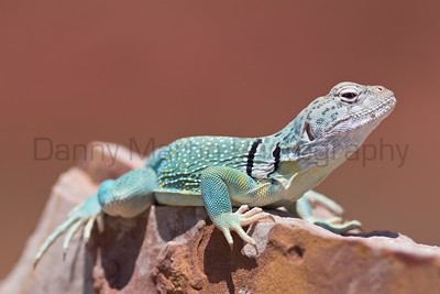 Eastern Collared Lizard (male) Caprock Canyon State Park, Briscoe County, Texas