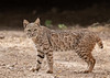 Bobcat<br /> Pima County, Arizona