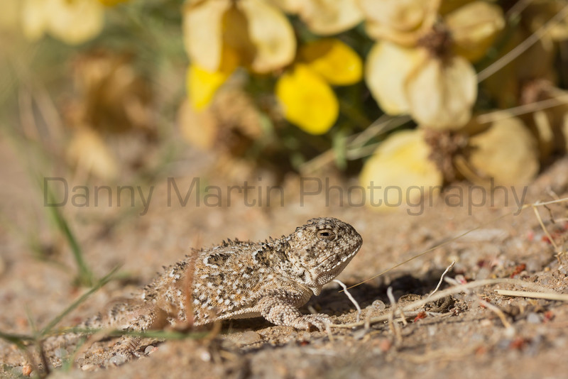 Short-horned Lizard (neonate)<br /> El Paso County, Colorado.