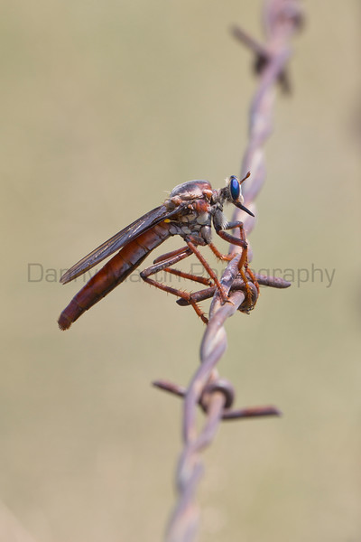 Stygian Robber (robber fly) on barbed wire<br /> Bailey County, Texas