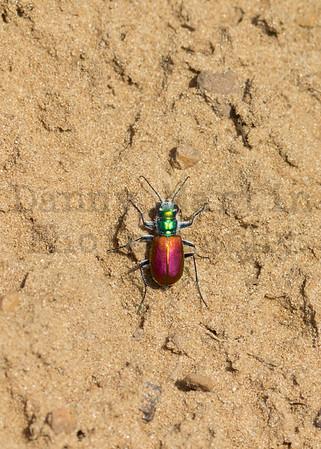 Festive Tiger Beetle<br /> McPherson County, Kansas