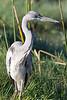 Grey Heron (subadult)<br /> Kruger National Park, South Africa