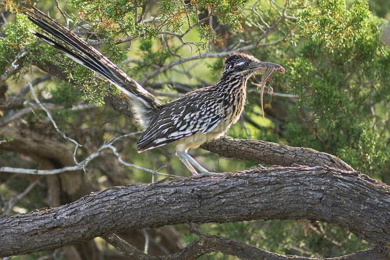 "Greater Roadrunner with Prairie Lizard prey<br /> Randall County, Texas<br /> *This photo was printed on the inside cover in the 2016 Colorado Lottery ""Taking Flight"" bird calendar."