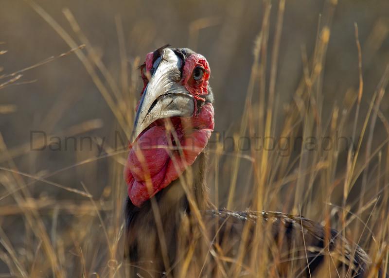 Southern Ground-hornbill (male)<br /> Kruger National Park, South Africa