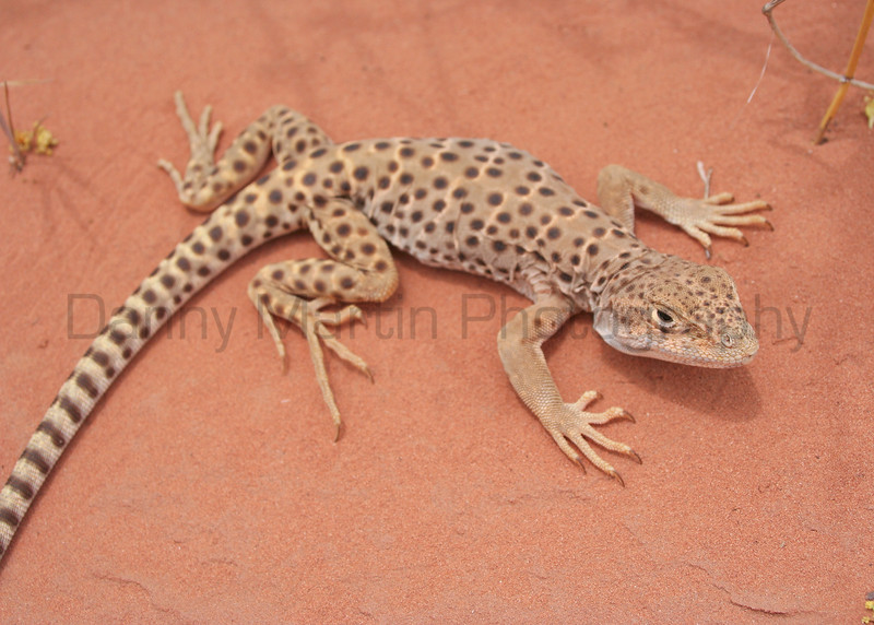 Long-nosed Leopard Lizard (female)<br /> Arches National Park, Utah.