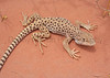 Long-nosed Leopard Lizard (female)<br /> Arches National Park, Utah.
