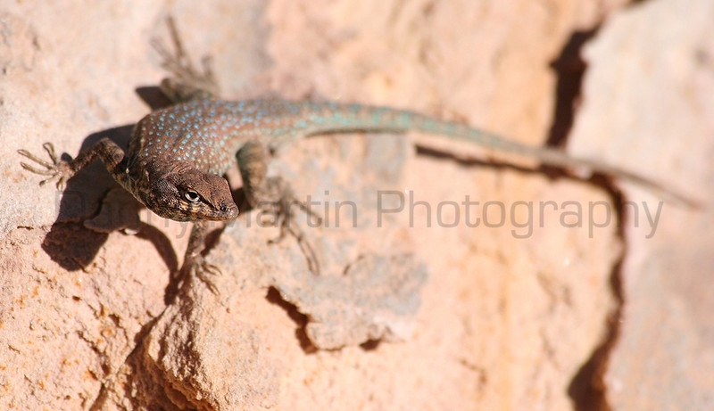 Common Side-blotched Lizard<br /> Utah