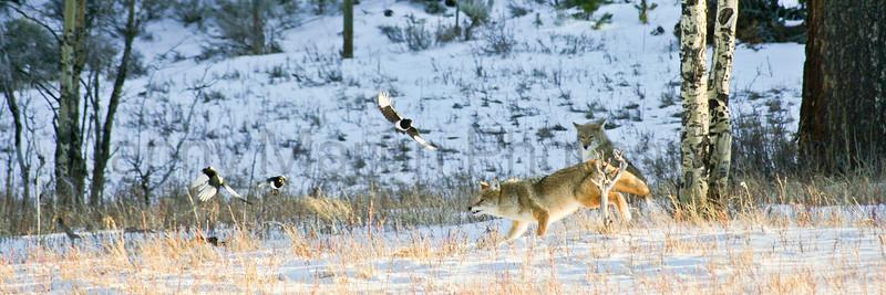 Coyotes & Black-billed Magpies in snow<br /> Larimer County, Colorado