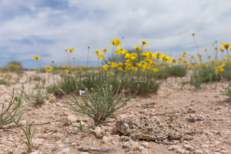 Texas Horned Lizard and June wildflowers. <br /> Randall County, Texas.