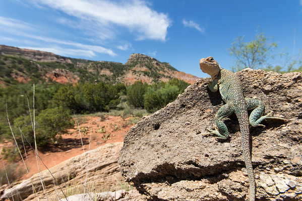 Eastern Collared Lizard<br /> Randall County, Texas