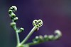 heart shaped fern small