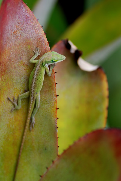 Bromeliad Gecko