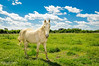 White horse standing in the field