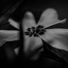 Phlox subulata - Garðaljómi