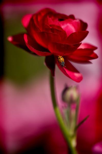 Ladybug on a Ranuclea