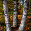 Birches in Hiawatha National Forest, Munising, MI