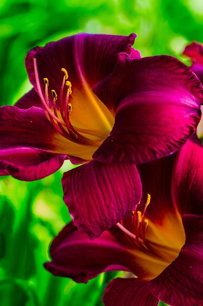 Crimson Daylily