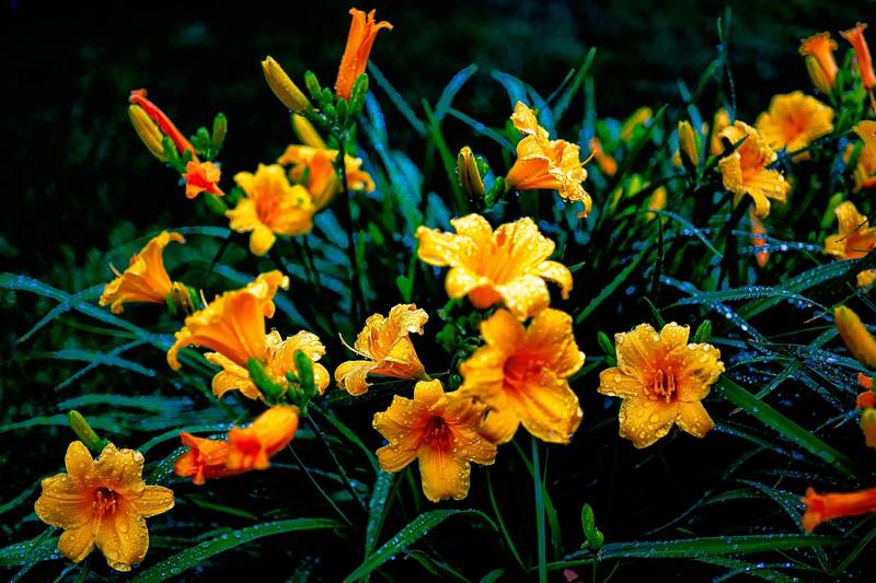 Stella D'Oro Lillies