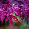 Japanes Maple Leaves