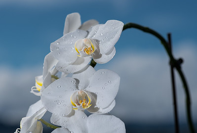 Orchid after a shower.