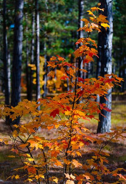 Fall Color Closeup; Hiawatha NF