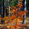 Fall Color Closeup; Hiawatha NF