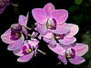 Photos downloaded fm Canon Mo Botanical Garden Orchid show3-4-06 141cr3-EditPainterlyLarge30x40