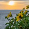 Marco Island's Sun Flower