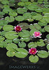 3 Water Lilies