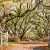 Avenue of Oaks, Hillsborough Plantation