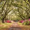 Live Oak Allee and Azaleas, Hillsborough Plantation