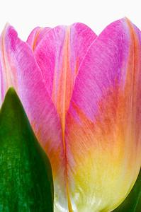Tulip     #20170205_0043