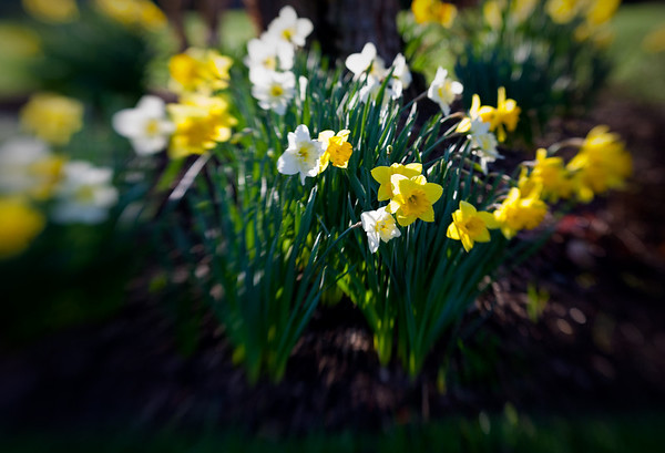 Morning Daffodils