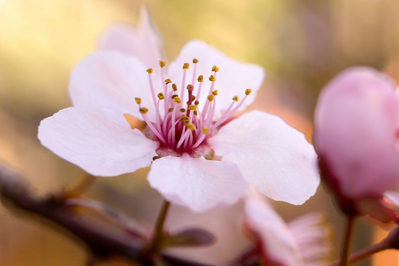 Thunder Cloud Plum Flower