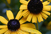 Blackeyed Susan Duo