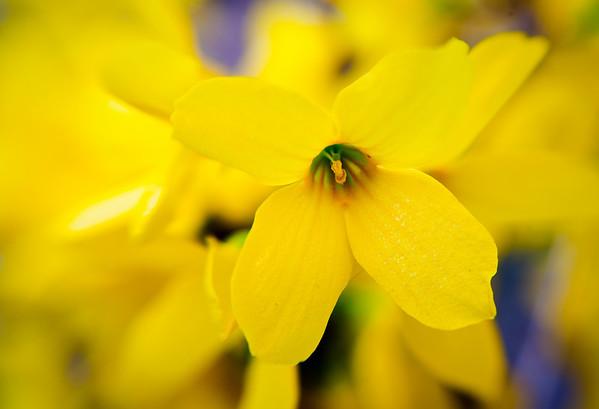 Forsythia Flowers