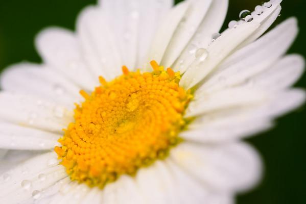 Rain Drops on a Daisy