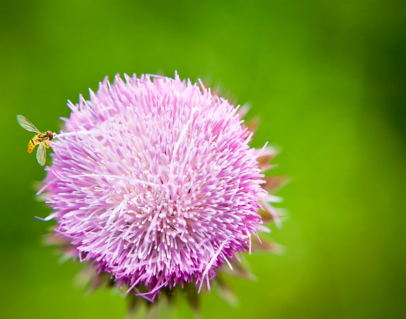 Wasp and the Thistle