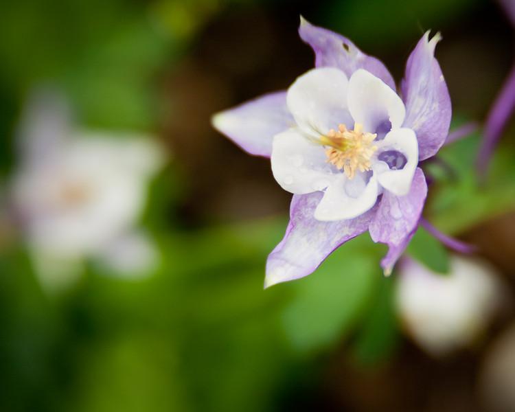Columbine Flower after Rain