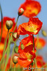 Orange Poppy Portrait