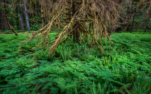 Quinault Forest, Washington