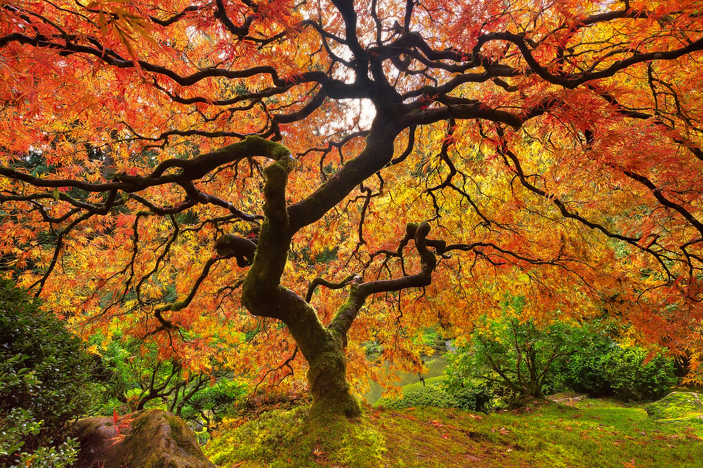 Japanese Red Maple Portland Japanese Garden, Oregon