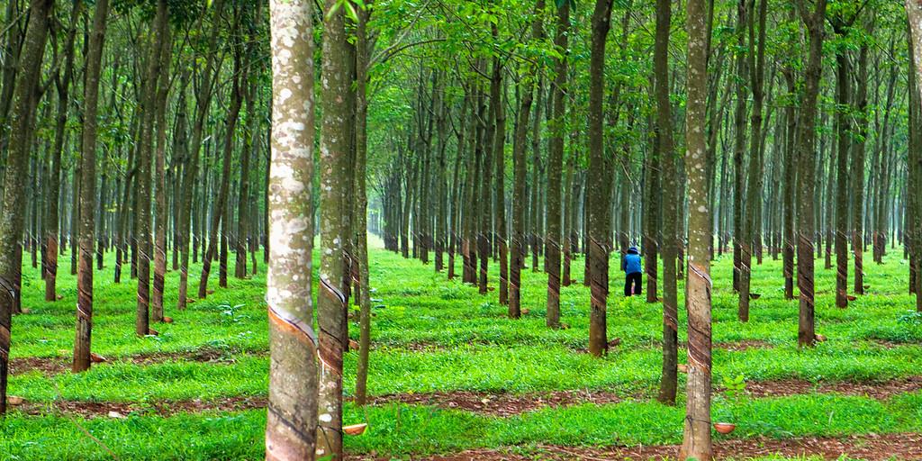 Rubber Tree Farmer