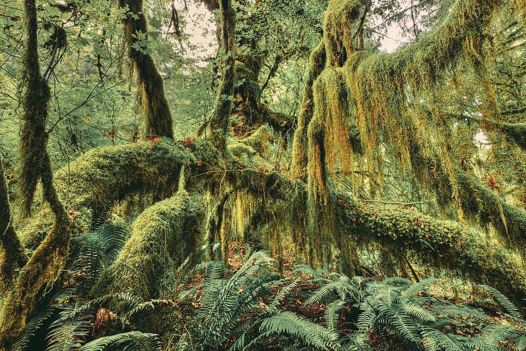 Photograph of Hoh Rainforest, Olympic National Park, Washington