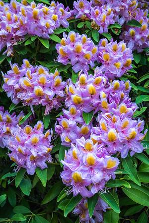 Rhodies in Bloom