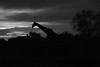 lagoon giraffe silhouette bw