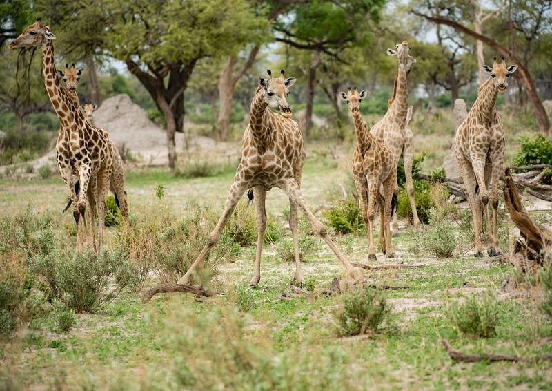 lagoon giraffe family