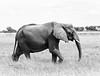lebala elephant 1