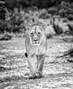 lagoon lioness